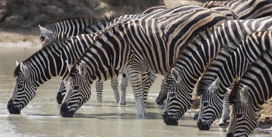 Zebrakruger