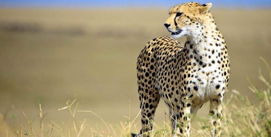 Cheetah on the Mara Plains