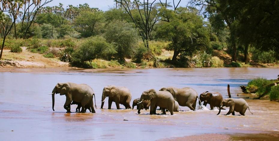 Elephants crossing the Uaso Nyiro