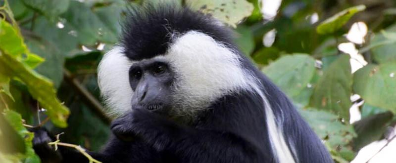 Track colobus monkeys in beautiful Nyungwe Forest