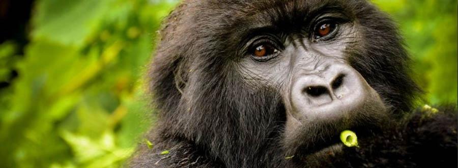 Silverback mountain gorilla in Volcanoes National Park