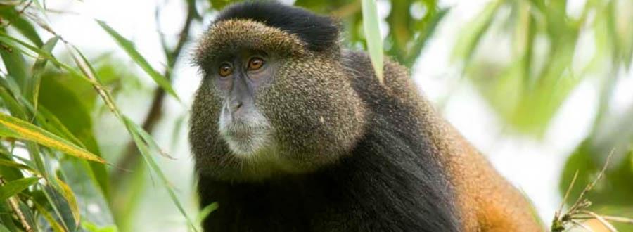 Add golden monkey tracking to your Rwanda safari