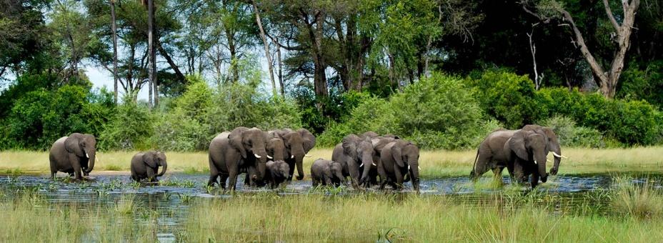 Okavango elephant