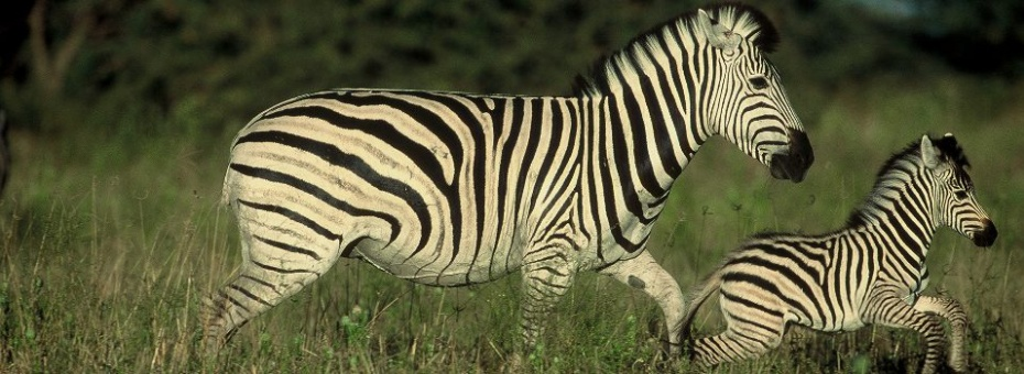 Zebra in the Savute Region of Chobe