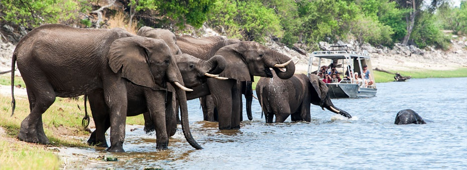 Elephant herd drink at the Chobe River