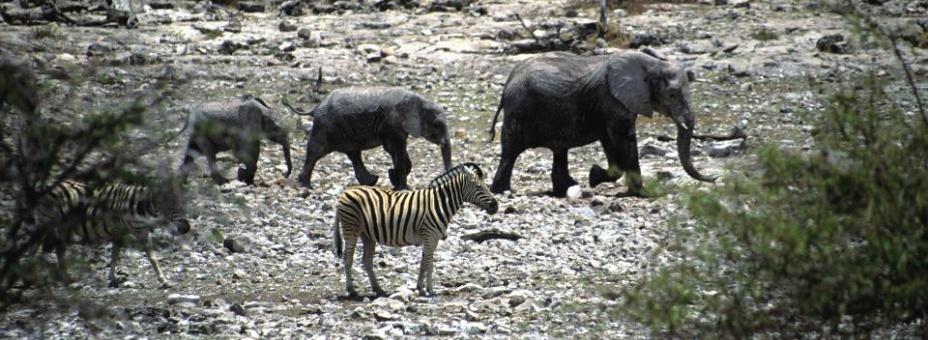 Desert Adapted Elephants | Namibia Tourism