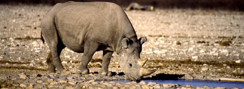 Desert Rhino | Namibia Tourism