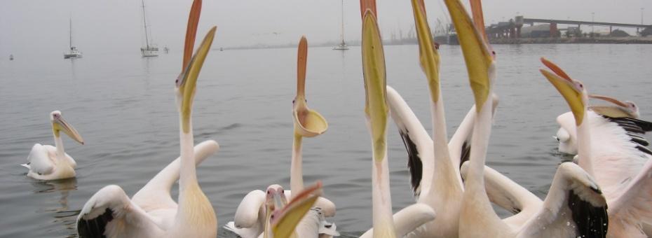 Pelicans | Ute von Ludwiger