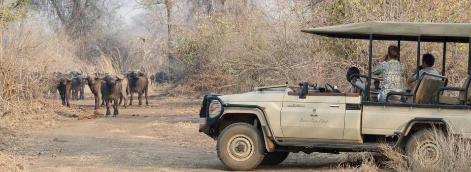 The Lower Zambezi has large herds of buffalo