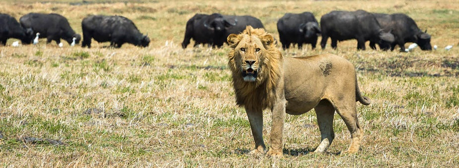 Prides of lion roam the Busanga Plains