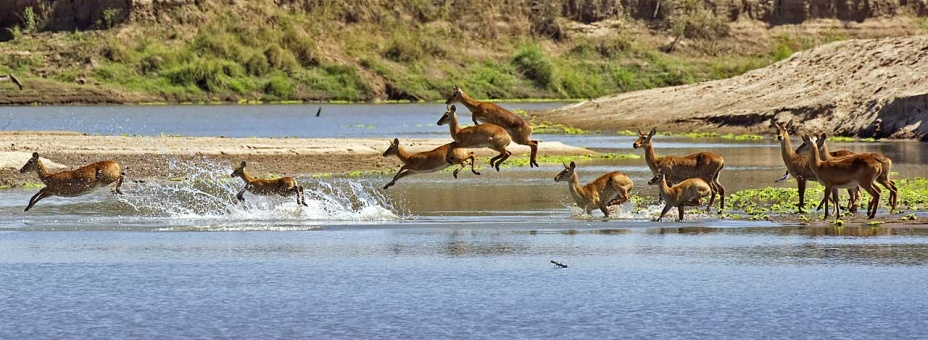 Puku jumping across the Luangwa River