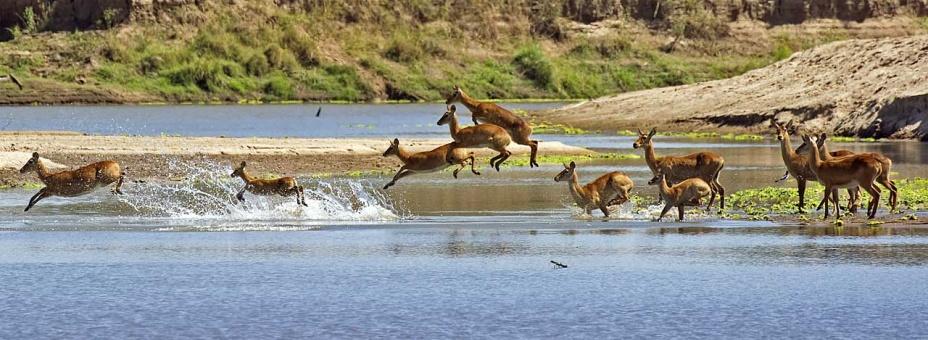 Puku jumping across the Luangwa River