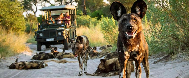 See wild dogs while on a Botswana safari