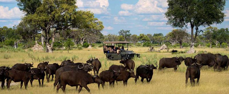 Buffalo herd by Vumbura Plains in the Okavango