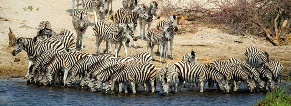 The zebra migration in Makgadikgadi National Park