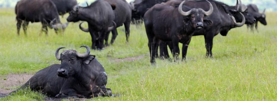 Buffalo sighting in Meru National Park
