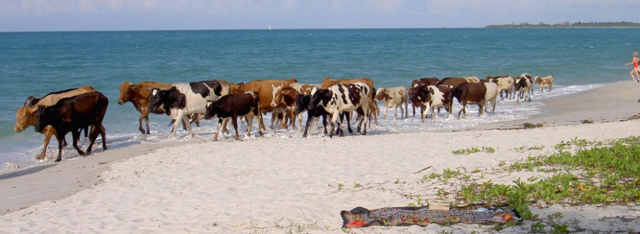 Cows on the beach in Dar es Salaam | Tanzania Tourist Board