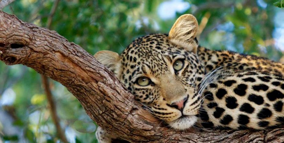 Leopard in Timbavati