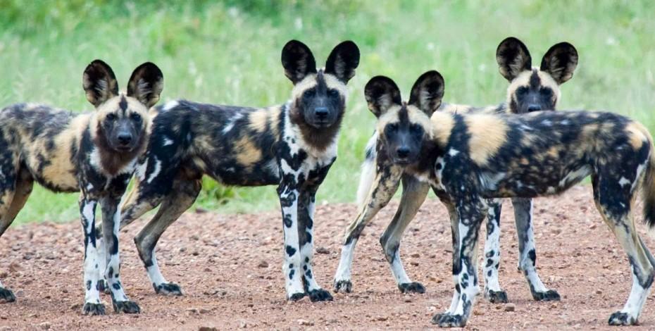 Wild dogs of the Timbavati