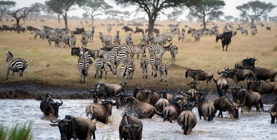 Herds of the Great Migration