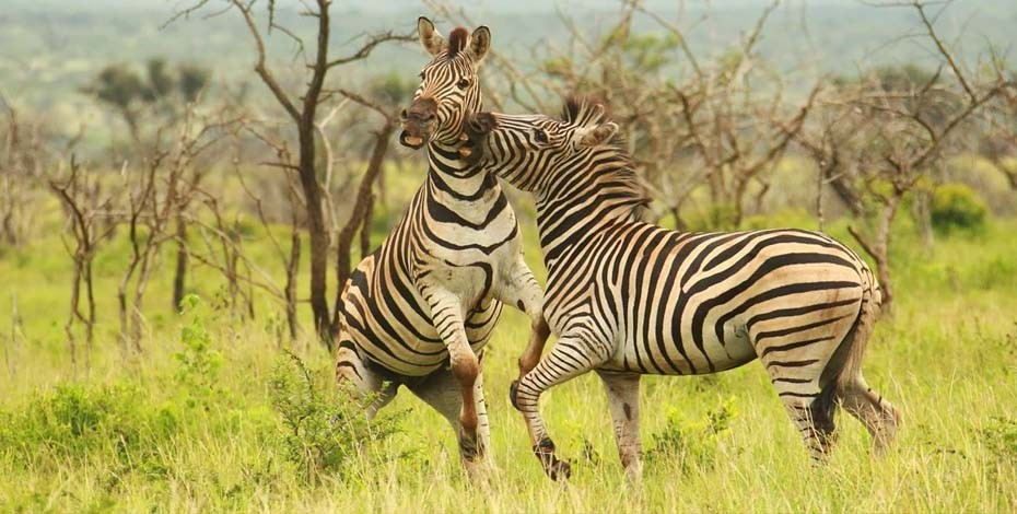 Zebra fighting in Thanda Private Reserve